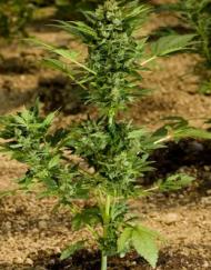 Automaria II (Paradise Seeds), autoflowering Samen