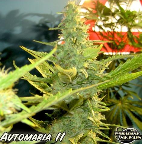 Automaria II (Paradise Seeds), autoflowering Samen - 1000Seeds