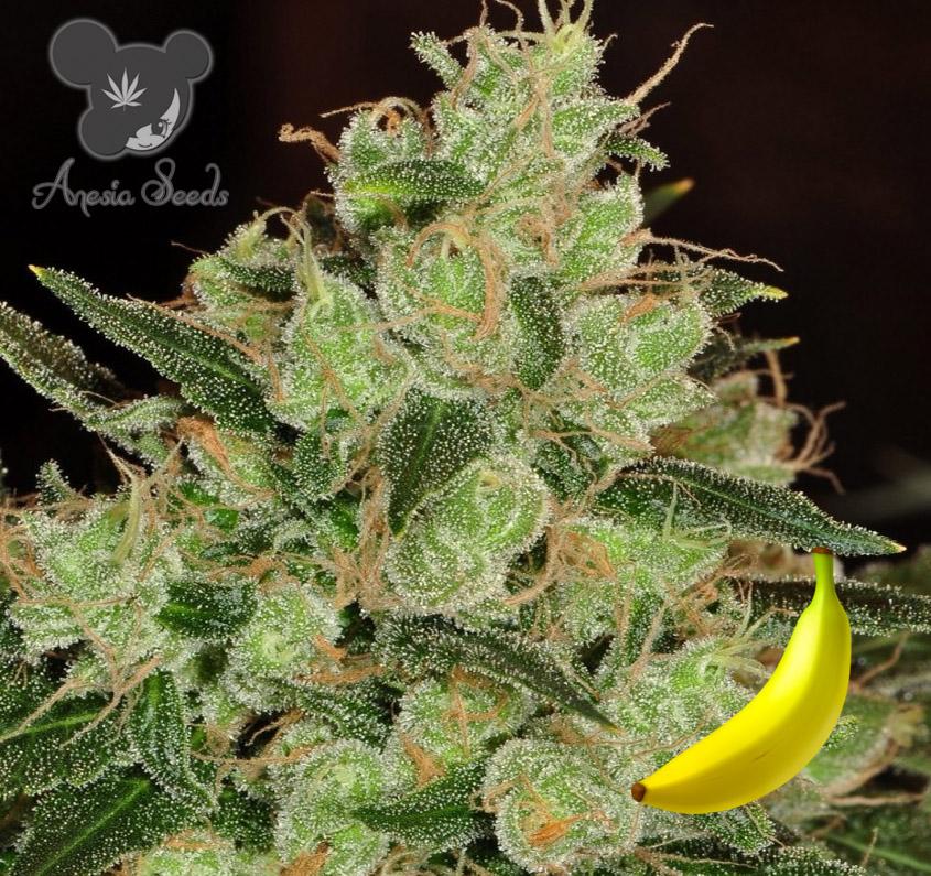Banana Kush (Anesia Seeds) 3 feminisierte Samen