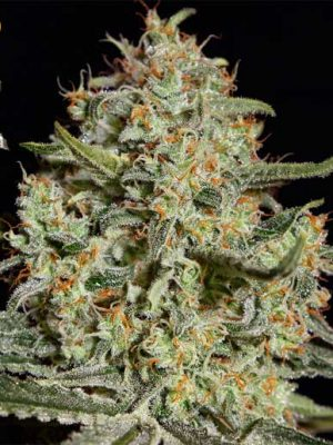 Big Bang (Green House Seed), feminisierte Samen