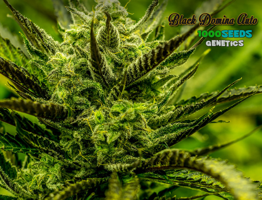Auto Black Domina (1000Seeds Genetics)