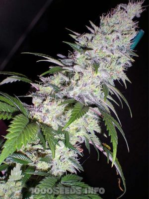 Black Domina (Bulk Passion) feminisiert