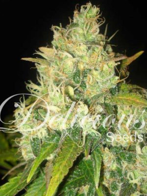 Black Russian (Delicious Seeds), 5 feminisierte Samen