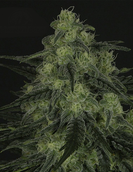 Black Valley (Ripper Seeds), feminisiert