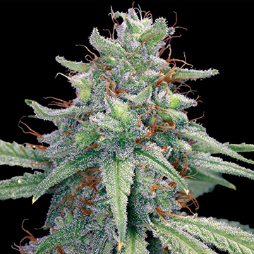 Blue Cheese Auto (Barney's Farm), 5 automatic Seeds