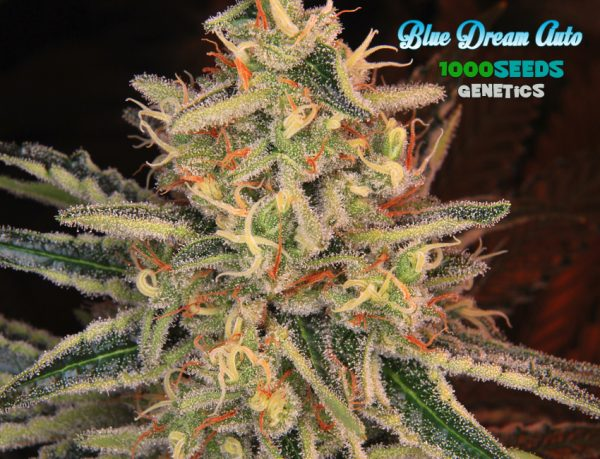 Auto Blue Dream (1000Seeds Genetics)