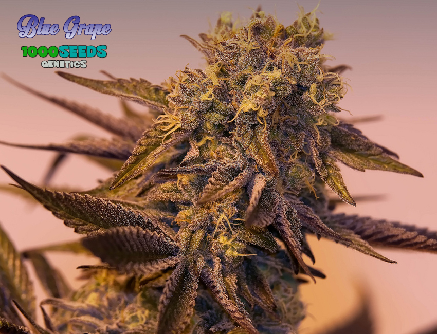 Blue Grape (1000Seeds Genetics)