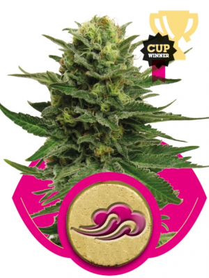 Blue Mistic (Royal Queen Seeds), 3 feminisierte Samen