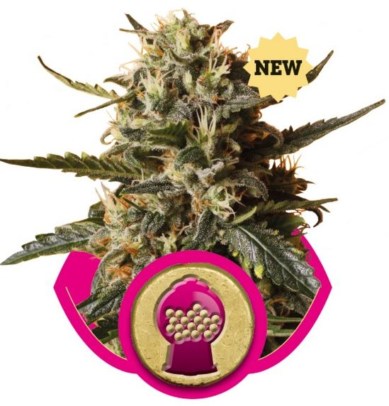 Bubblegum XL (Royal Queen Seeds), 3 feminisierte Samen