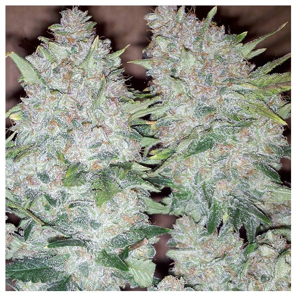 Bubblelicious (Nirvana) 10 regular Seeds