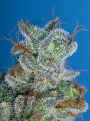 Burmese Kush (T.H. Seeds), 5 oder 10 regular Seeds