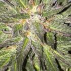CBD Critical Cure (Barney's Farm - CBD Crew), 5 feminisierte Samen