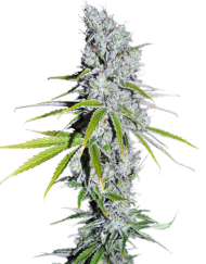 CBD Skunk Haze (Dutch Passion), 3 feminisierte Samen