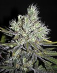 CBD Sweet and Sour Widow (CBD Crew), 5 regular Seeds