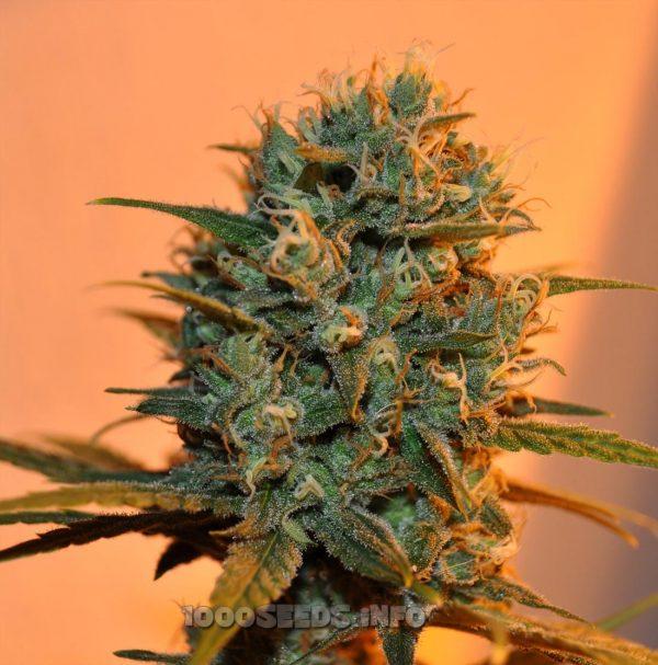 Chocolope (DNA Genetics) 13 regular Seeds