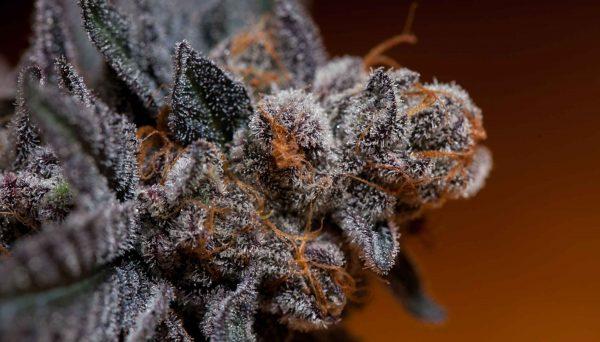 cannabis-samen-kaufen
