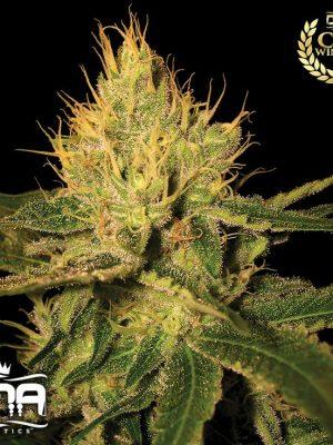 Cannalope Haze (DNA Genetics), 6 oder 13 regular Seeds