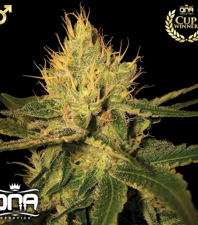 Cannalope Haze (DNA Genetics), 6 oder 13 regular Seeds
