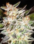 Cheese Candy Auto (Delicious Seeds), 5 autofeminisierte Samen