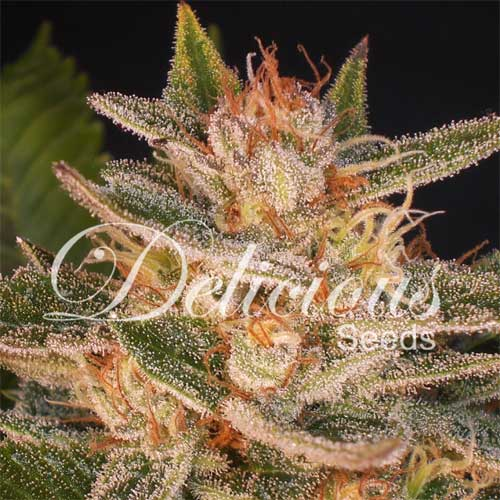 Cheese Candy (Delicious Seeds), 5 feminisierte Samen
