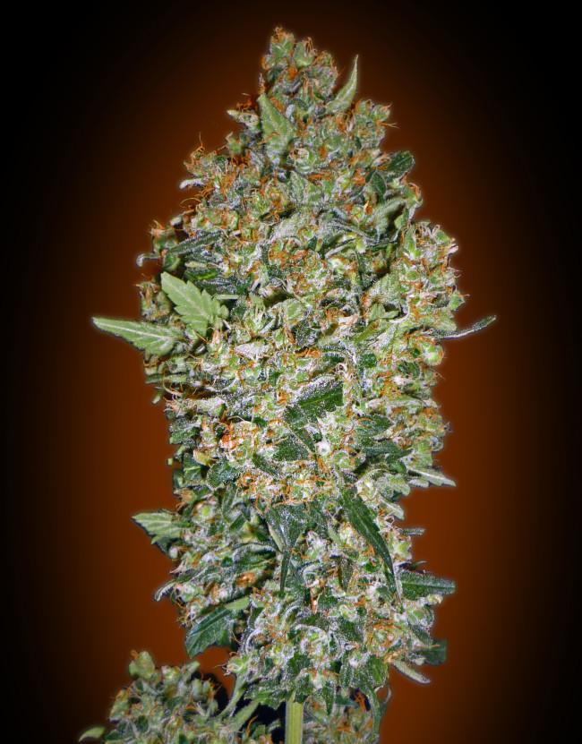 Cheeseberry (00 Seeds) 5 feminisierte Samen