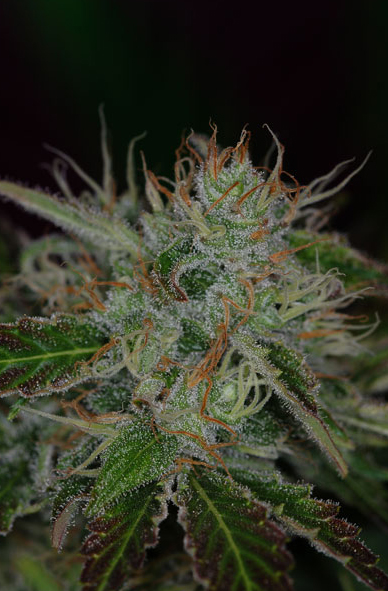 Chernobyl (TGA Subcool), 5 oder 10 regular Seeds
