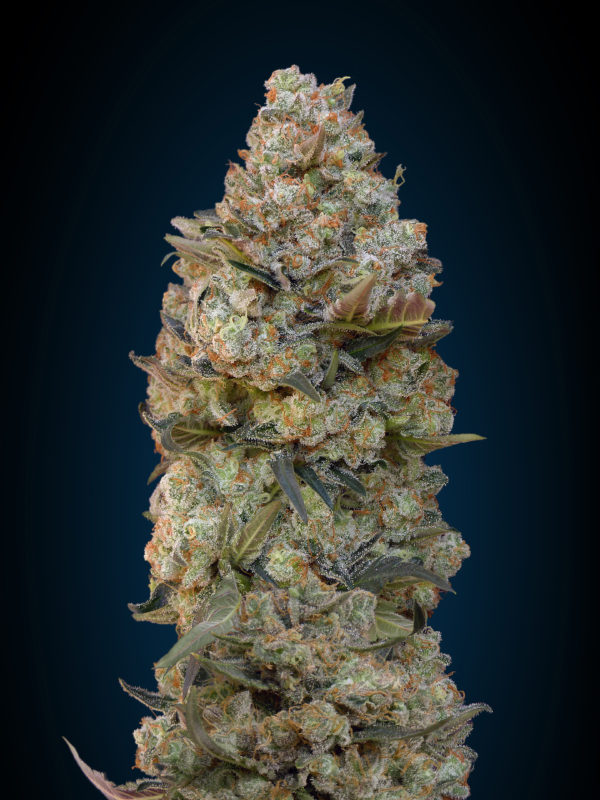 Chocolate Skunk (00 Seeds) 5 feminisierte Samen