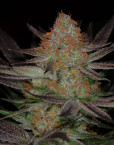 Qrazy Train (TGA Subcool), 5 oder 10 regular Seeds