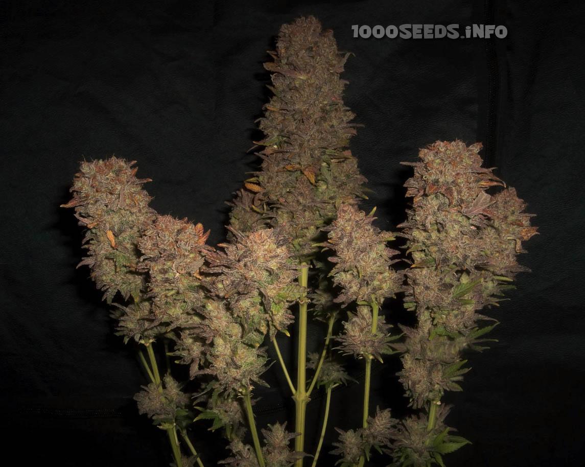 Cream Caramel (Sweet Seeds), feminisierte Samen