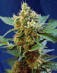 Cream Mandarine XL Auto (Sweet Seeds), automatic Samen
