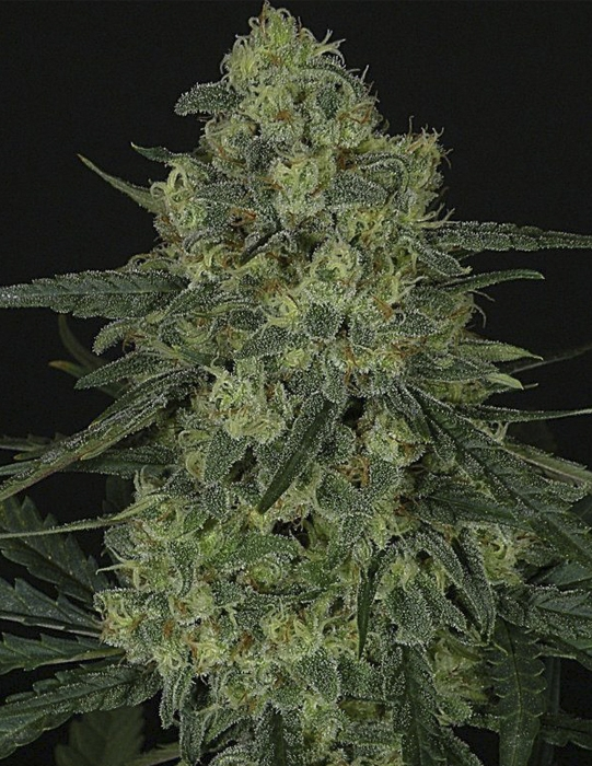 Criminal+ (Ripper Seeds), feminisiert