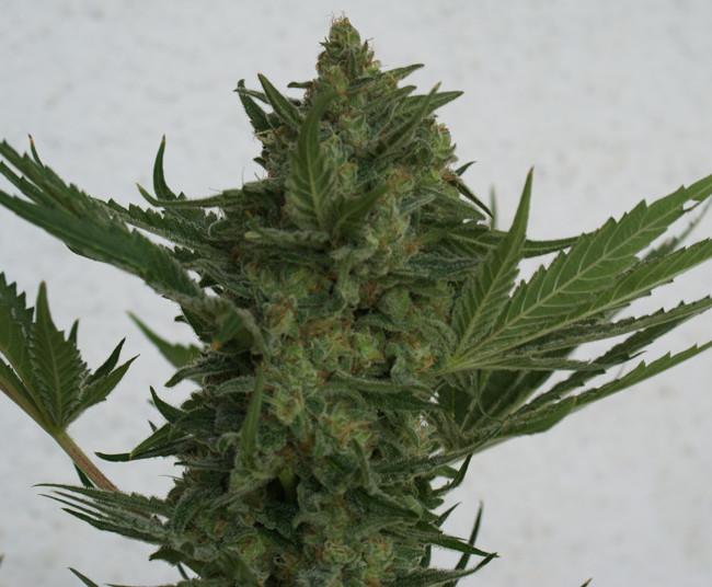 Critical Haze (Resin Seeds) regular