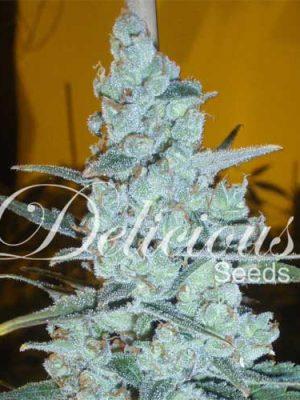 Critical Jack Herer (Delicious Seeds), 5 feminisierte Samen