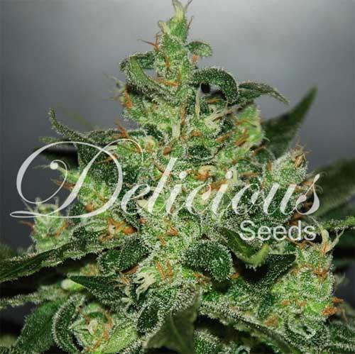 Critical Jack Herer Auto (Delicious Seeds), 5 autofeminisierte Samen