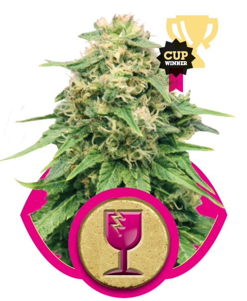 Critical (Royal Queen Seeds), 3 feminisierte Samen