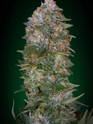 Critical Soma (Advanced Seeds), feminisierte Samen