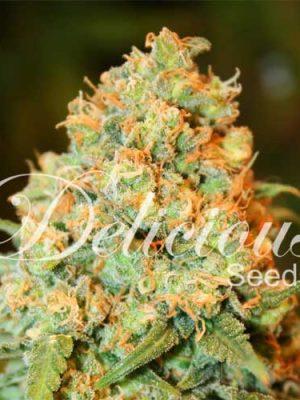 Critical Super Silver Haze (Delicious Seeds), 5 feminisierte Samen