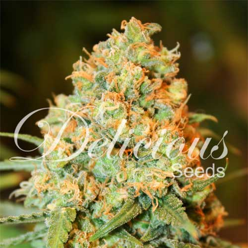 Critical Super Silver Haze (Delicious Seeds), 5 feminisierte Samen