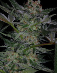 Dr. Who (TGA Subcool), 5 oder 10 regular Seeds