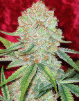 Dancehall (Reggae Seeds), 7 regular Seeds, CBD-Strain