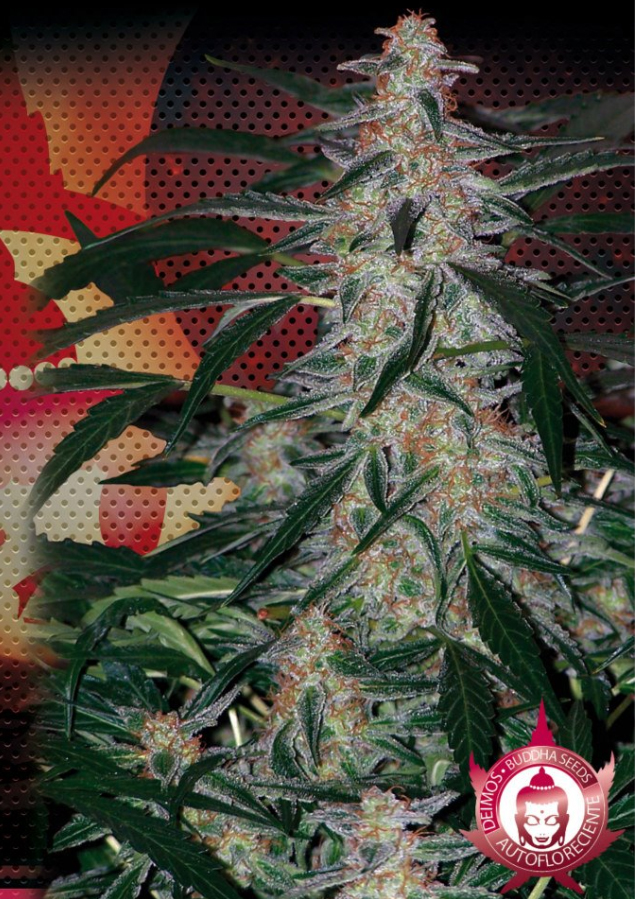 Deimos - Autoflowering (Buddha Seeds), feminisierte Samen