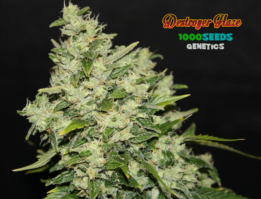Destroyer Haze (1000Seeds Genetics)