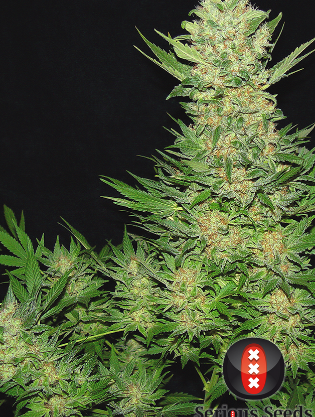 Double Dutch (Serious Seeds) feminisiert oder regular