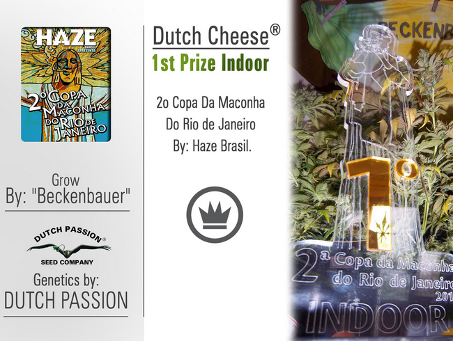 Dutch Cheese (Dutch Passion), 3 feminisierte Samen