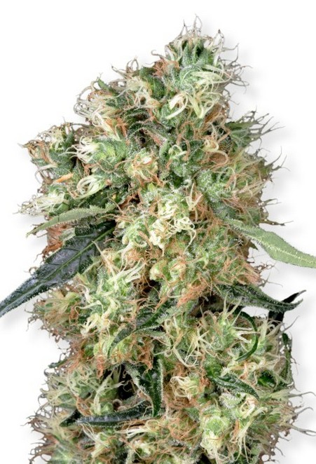 Dutch Haze (Dutch Passion), 3 feminisierte Samen