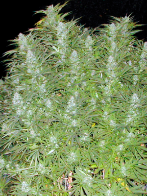 Early Skunk (Sensi Seeds) feminisiert oder regulär