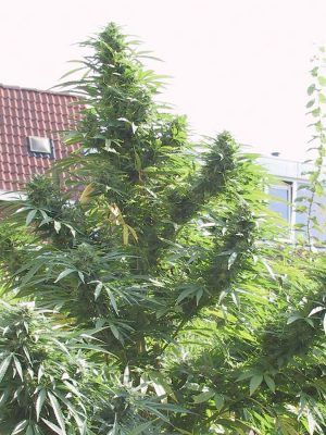 Easy Sativa von Female Seeds, 4 feminisierte Samen