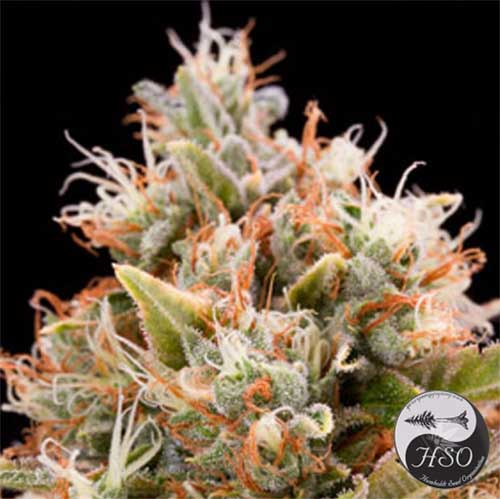 Chemdawg (Humboldt Seeds), 5 regular Seeds