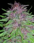 ErdPurt (ACE Seeds) 5 regular Seeds