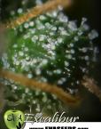 Excalibur (Eva Seeds) 3 feminisierte Samen